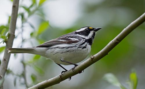 blackthroatedgraywarbler blackthroated gray warbler setophaganigrescens setophaga nigrescens male breeding