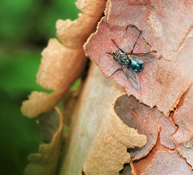 Beaut blowfly blue