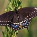 Black Swallowtail (Papilio polyxenes)