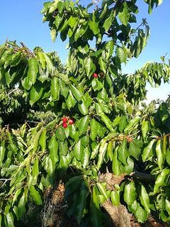 ciliegie palmisano 2020 (3)