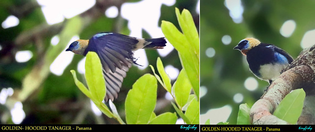 World Species #1395 : Golden-hooded Tanager - [ Summit Golf Resort, Panama City ]