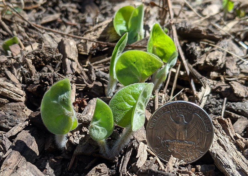 Six miniature plants with their leaves sticking straight up, no flowers, next to a quarter that is almost as big.