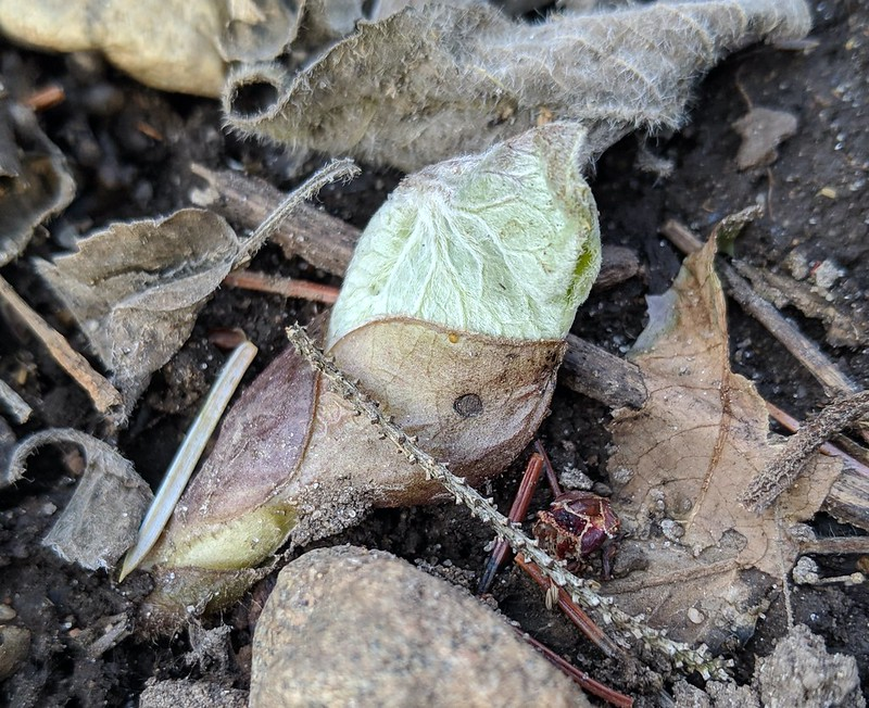 A single leaf, looking like it's swaddled with a brown blanket.