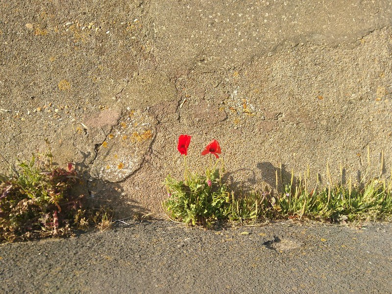 Two poppies by the roadside