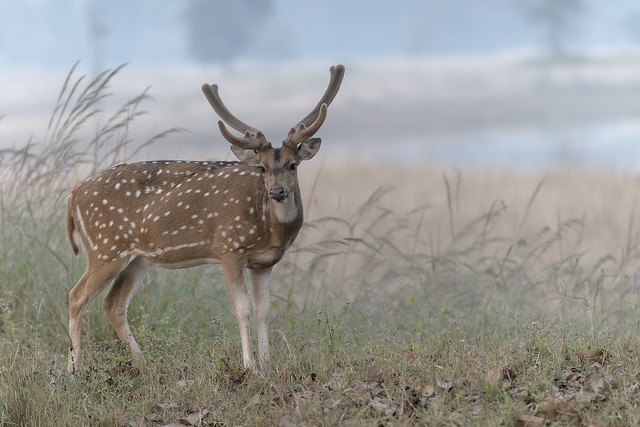 Spotted deer - Kanha - India