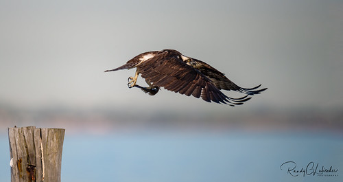 Osprey of the Jersey Shore | 2020 - 11