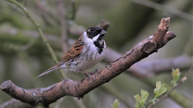 Reed Bunting - Male      (Emberiza schoeniclus)