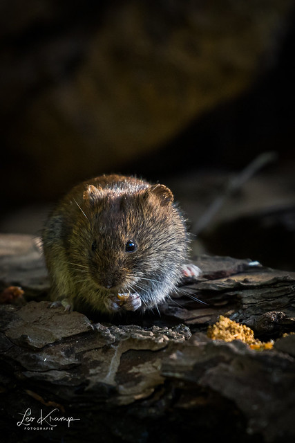 Wood mouse | Bosmuis