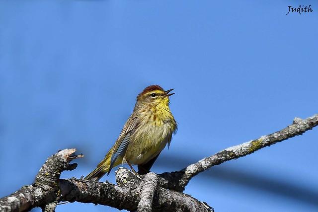 Paruline à couronne rousse - Palm Warbler