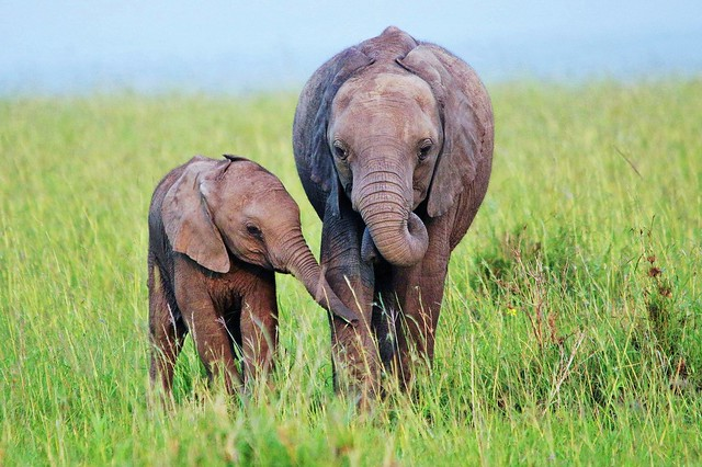 Two Elephant Calves (Loxodonta africana)