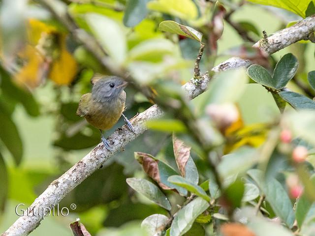 Abre-asa-de-cabeça-cinza (Mionects rufiventris) - Grey-hooded Flycatcher