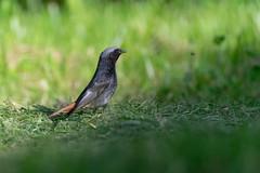 Rougequeue noir - Rojacoa negre - Black redstart - Phoenicurus ochruros
