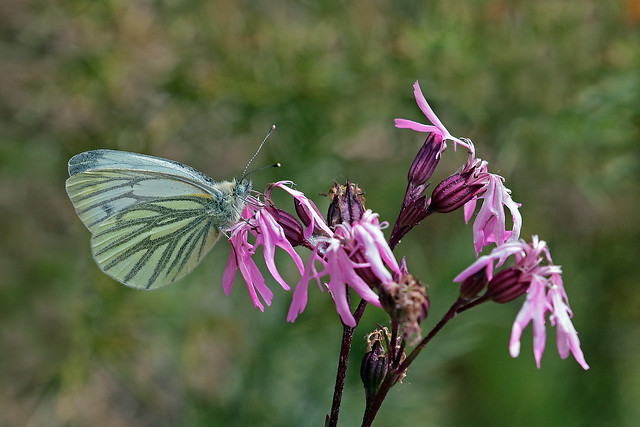 green veined white (Explore)