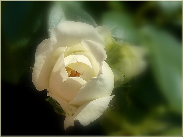première rose de l'année - 2020