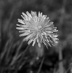 Dandelion Macro Test