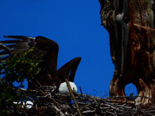 may 14 2020 15:12 - Em on the Nest with the Eaglets | by boonibarb