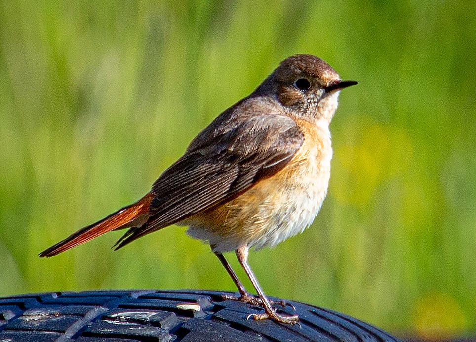 A Common Redstart