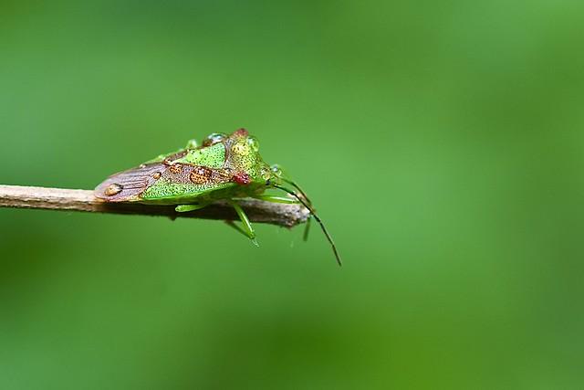 Green shield bug (Palomena prasina)