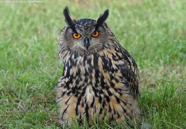 European eagle owl - Falconry fair