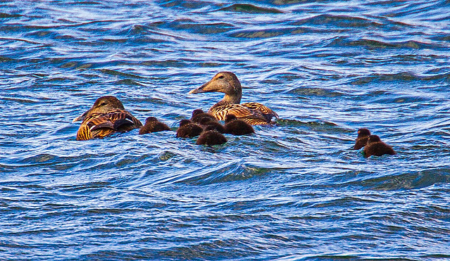 Eider with babies