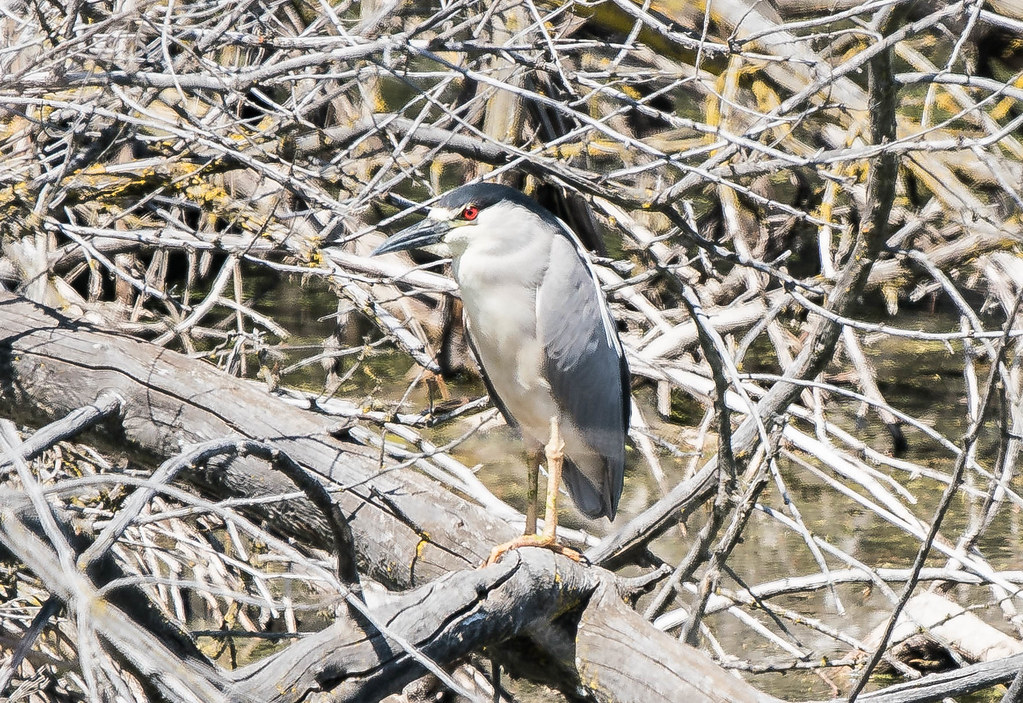 night heron 1 (1 of 1)