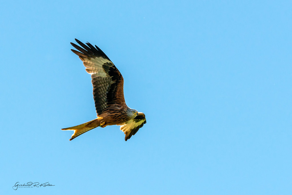 Red kite hunting in the South Eifel