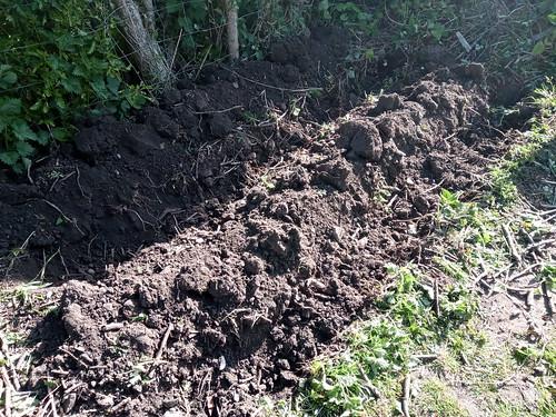 potato trenches May 20