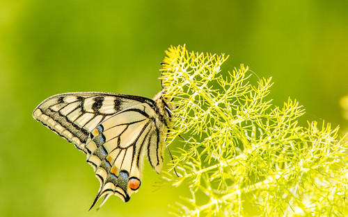 Swallowtail - Papilio machaon - Koninginnepage