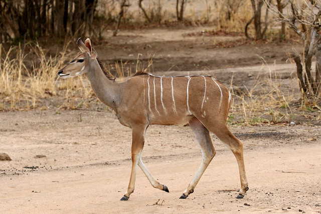 Greater Kudu ♀ Tragelaphus strepsiceros