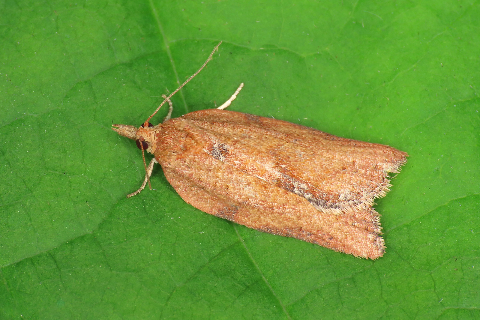 49.039 Light Brown Apple Moth - Epiphyas postvittana
