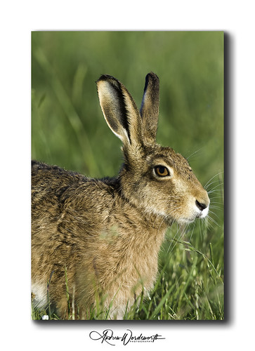 Hare | by Andrew 3457