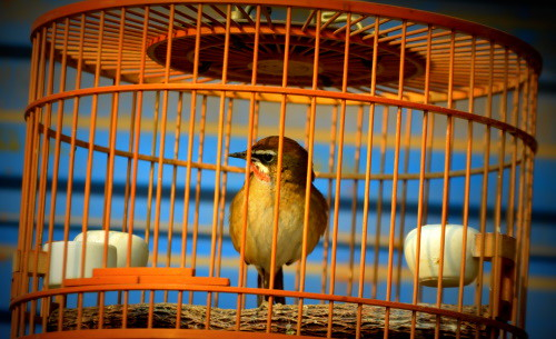 bird_in_cage