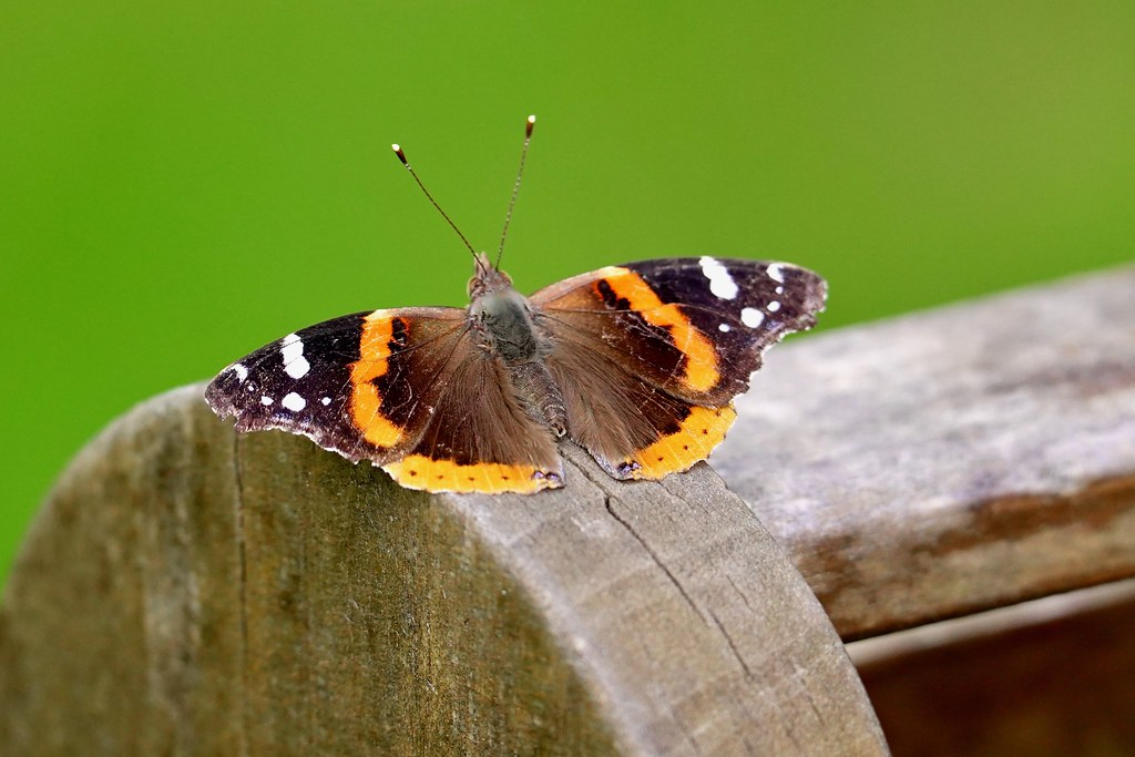 Red Admiral!
