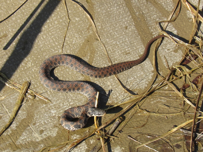 Kirtland's Snake