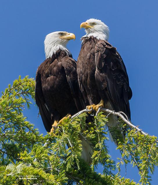 Togetherness (Bald Eagles)