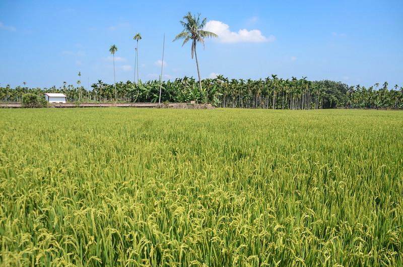 五塊厝昭和二年總督府內務局林邊溪左6-0號水準點原點位在稻田中