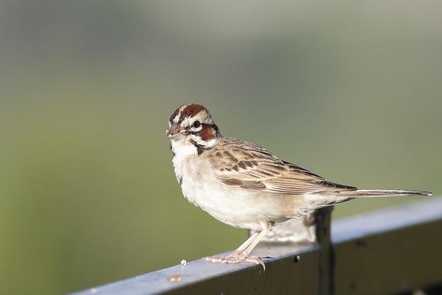 5DM40498. View Large. Lark Sparrow. Backyard, Corona California.