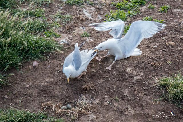Résister à son voisin irascible et défendre son nid pour qu'il ne mange surtout pas les oeufs