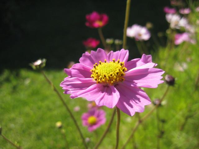A Pink Cosmos - Thornbury