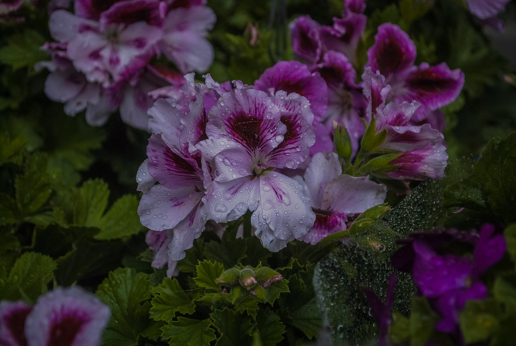 I absolutely love these pelargoniums!!  13:23:02 DSC_5506