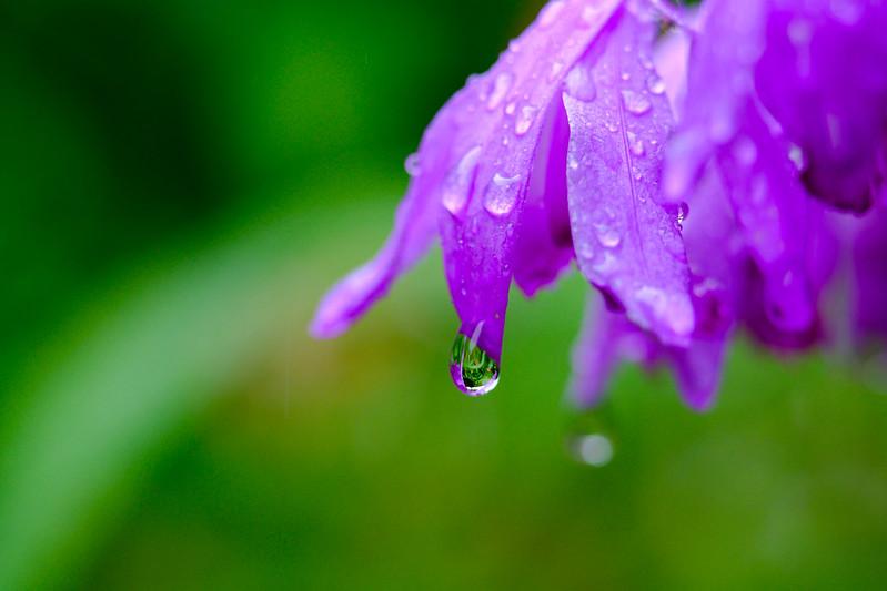 雨の日の紫蘭 ( Bletilla striata on a rainy day )