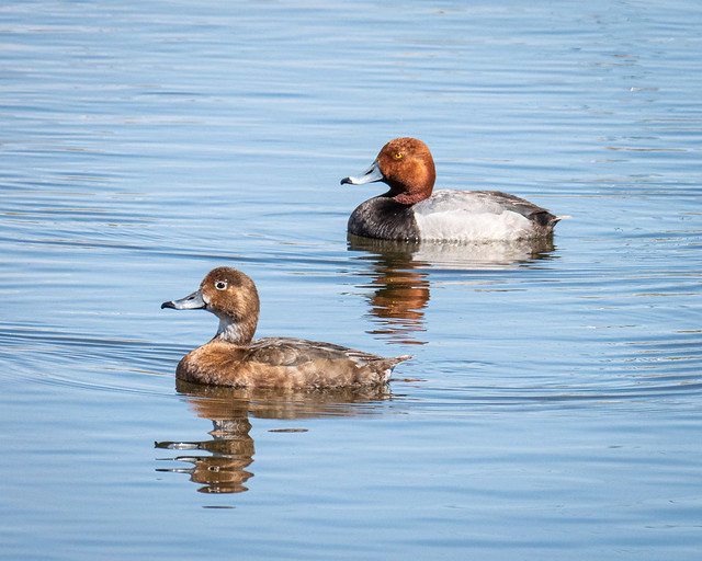 Canvasback Duck pair