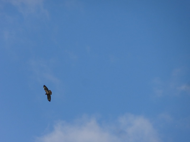 Buzzard, Riverdale footpath