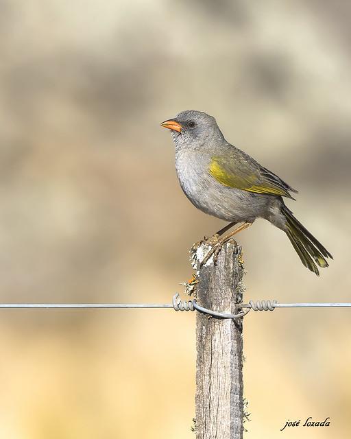 Verdon !! Un bonita ave de Córdoba que en invierno la he visto en la Laguna Mar chiquita y en verano en el PN quebrada del Condorito!!!!- Argentina
