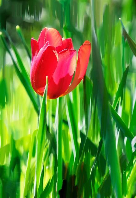 tulipano rosso.