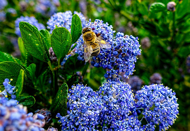 California lilac with honey bee