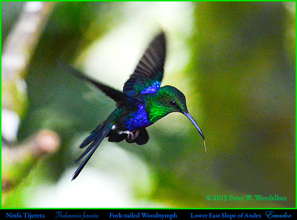 FORK-TAILED WOODNYMPH Male Thalurania furcata Hovering on Eastern Slope of Andes in ECUADOR. Hummingbird Photo by Peter Wendelken.
