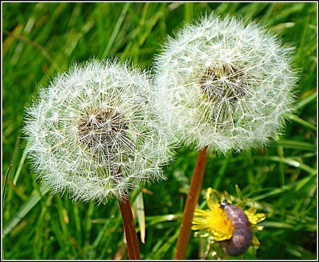 Two Dandlion Seedheads ..
