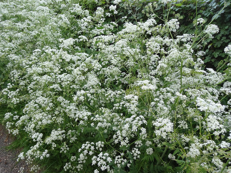 Cow parsley lines the lanes
