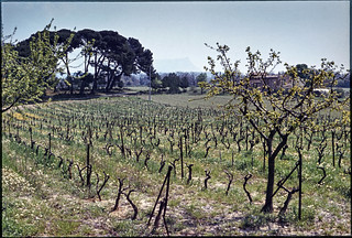 Vineyard, Provence aix1974-483